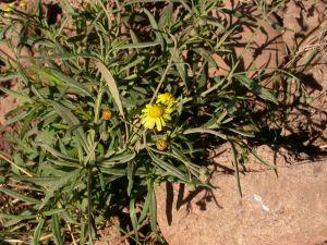 Fireweed (Senecio madagascariensis)