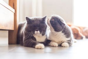 Two British shorthairs