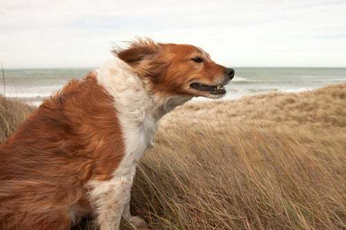 Dog in wind at beach