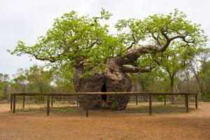Boab Prison Tree Travel Australia