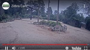 Melbourne Zoo Live Feed