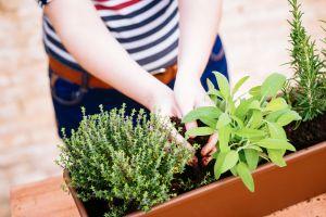 Planting herb garden
