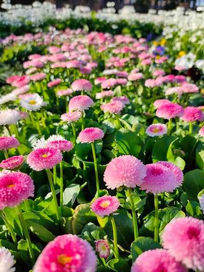 Photo of pink flowers with white flowers in background