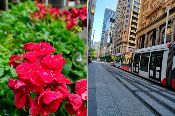 Outdoor photos of red flower and tram taken on the Realme 7 Pro