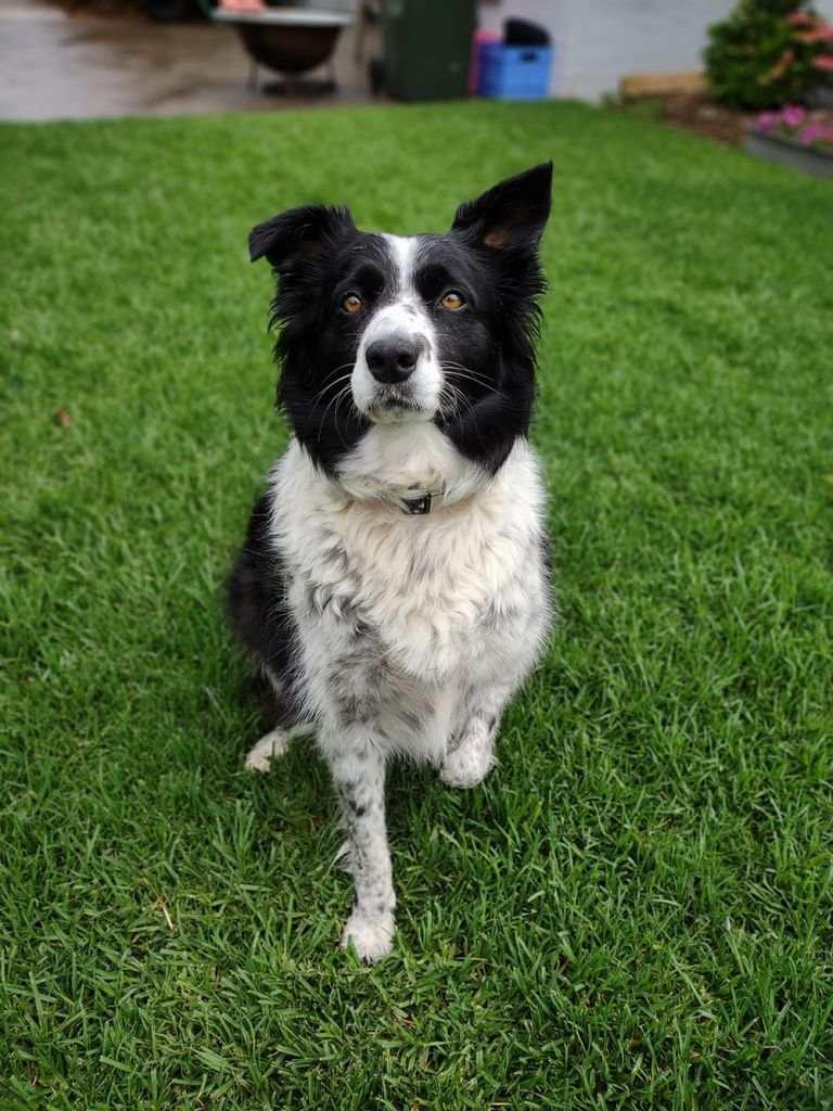 A border collie dog sitting on grass