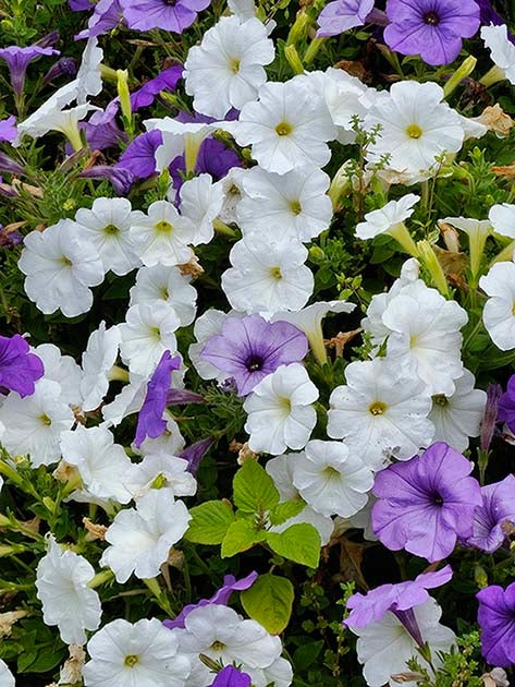 Close up shot of white and purple flowers