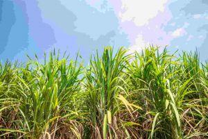 Sugarcane in field