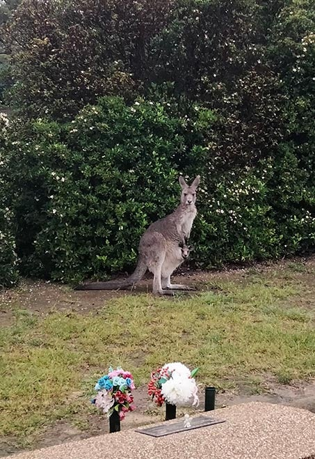 A grey kangaroo with joey