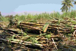 Harvested sugarcane bundles