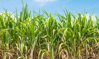 Sugarcane growing in a field
