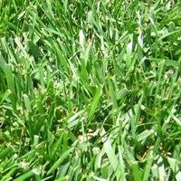 Fescue Lawn Grass Seed