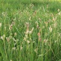 buffalo grass2