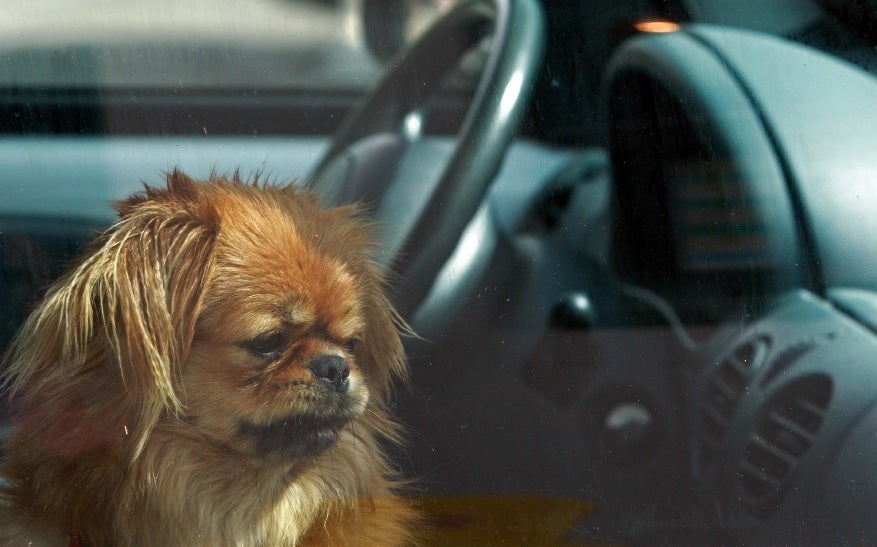 dog in car thumbnail